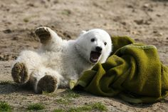 File picture shows polar bear cub Knut playing with a blanket during the bear's first presentation in Berlin zoo March 23, 2007. Knut, the hand-reared polar bear who captured Germans' hearts before his early death in 2011, returns to his adoring Berlin public on February 15, 2013 as a life-sized model with the bear's real fur. The sculpture will be shown for four weeks to the public starting on February 16. Picture taken March 23, 2007. REUTERS/REUTERS/Arnd Wiegmann/File