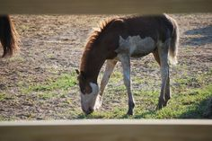 July 2016 Chincoteague Pony Penning Day round up