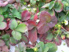 Nem betegség, éhezik - az eper - gazigazito.hu EPERBETEGSÉG TÜNETEI kÉPEKBEN Gardening Tips, Plant Leaves, Strawberry, Fruit, Vegetables, Gardens, Plant, Veggies, Outdoor Gardens