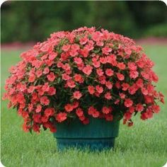 """The most heat-tolerant impatiens series on the market, Fanfare grows lush and full in any container. These """"go-anywhere"""" impatiens thrive in ANY part of the garden - sun or shade - giving you the fastest Spring and Summer color!"""