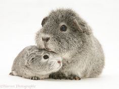 Silver Guinea pig with baby.