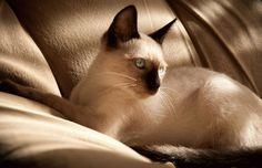 siamese cat wallpaper free