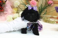 SMALL Teacup Poodle no193   Date of Birth:2013/12/28 Color:Black Gender:Female Size:Small Teacup-Teacup Poodle Estimated Adult Weight: around 1.5-1.8kg (3.3-3.9lb) Vaccination:2  ♥Teacup Poodle♥Toy Poodle♥Pocket Poodle♥  YouLong Poodle Breeding Center http://52993344.com/en/  Poodleholics Please Contact Us: Cell: +886-975785398 Line ID : teddymommy75 Whatsapp : +886975785398 SKYPE: teddy52999 Email: a5299.a3344@msa.hinet.net   Teacup Poodles Available for Sale – Wide Selections!!! –