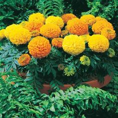 Crackerjack African Marigold   Tagetes erecta. 2'-3' Tall flowering plant with long bloom season. Deadhead to promote profuse blooms. Likes to dry somewhat between waters (raingarden style). Poor soils are better. Flowers rot in wet weather. Good for cut flowers. petals are spicy in salads. Good companions for repelling pests. Might try growing these in medium clay pots buried to their neck or at various heights for texture. Also good for border/buffer creation. Reco start indoors.