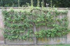 Afbeeldingsresultaat voor malus leifruit boom muur