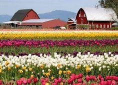 Farm of Tulips