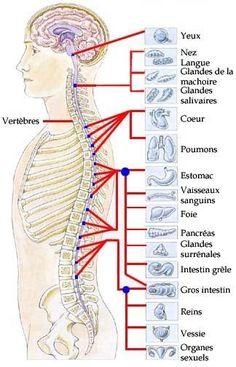 L'origine réelle vos douleurs : Les douleurs dans la partie thoracique de la colonne vertébrale peuvent indiquer un problème gastrique ; intestinal ou cardiaques .Les problèmes dans la partie lombaire de la colonne ne touchent pas uniquement le bas du dos, mais peuvent se révéler aussi par des douleurs de la cuisse, de la hanche et peuvent même nuire à la marche en modifiant la sensibilité au niveau des jambes..