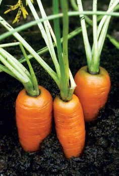 carrots in the garden - close-up detail