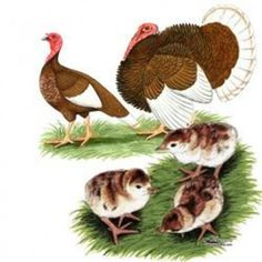 Where to buy Gold Laced Polish Chickens Pet Chickens, Chickens Backyard, Rabbits, Bourbon Red Turkey, Turkey Breeds, Turkey Drawing, Where To Buy Gold, Polish Chicken, Turkey Bird