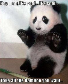 """""""Every time you have a baby a panda dies! I don't want to live in a world without pandas! Funny Animal Images, Funny Animal Quotes, Cute Animal Videos, Animals Images, Cute Funny Animals, Cute Baby Animals, Animal Memes, Funny Cute, Funny Pictures"""