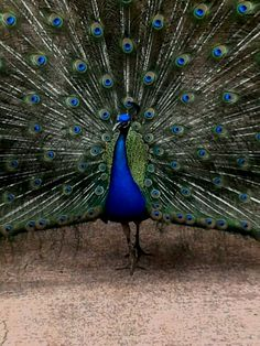 Pavo Real - Zoo Ave, Costa Rica