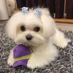 Jeanne Thomas đã lưu vào I ♥ Maltese adorable ❤️ Tiny Puppies, Teacup Puppies, Cute Dogs And Puppies, I Love Dogs, Doggies, Maltese Haircut, Sweet Dogs, Malteser, Maltese Dogs