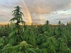 #cannalovers #cannabis #canna #welovecannabis #lovecanna