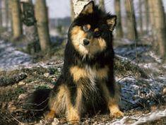 Chien Chien finnois de Laponie