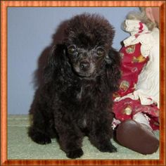 Reminds me of Lacy Ann:) Teacup Poodles, Teacup Pigs, Toy Poodles, Standard Poodles, Therapy Dogs, My Cup Of Tea, Cutest Animals, Big Dogs, Border Collie