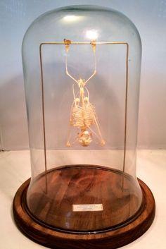 Cabinet de curiosité Globe verre Squelette chauve-souris cynopterus sphynx 3e0bc0d126e6