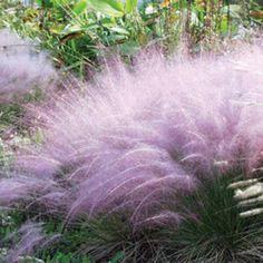 Pink Muhly Grass (Muhlenbergia capillaris ) at Wayside Gardens