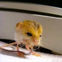 his is a most unusual animal... the Pygmy Jerboa