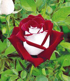 Osiria rose. Bouquet or boutonnière.