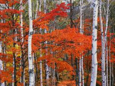 White Birch and Maple Trees in October Photographic Print at Art.com