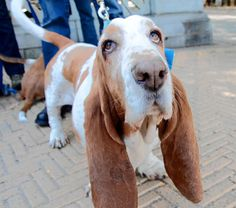 Gathering of the Hush Puppies: Basset hounds pal around in Prospect Park