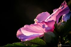 Hibiscus Blossom - Hibiscus blossom in the morning sunlight