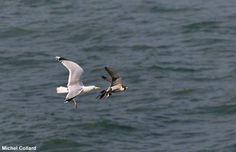 Michel Collard nous a transmis cette intéressante photo prise près de la pointe du Hoc dans le Calvados montrant un Goéland argenté (Larus argentatus) poursuivant un Faucon pèlerin (Falco peregrinus) qui venait de capturer une proie (indéterminée).