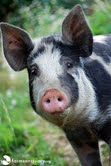 Farm Sanctuary works to protect farm animals from cruelty.