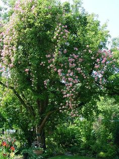 A pretty pink Rambler Rose.  A beautiful growing up through an old apple tree.
