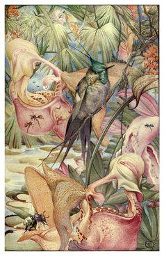 Coryanthes Maculata-News of spring and other nature studies 1917- Ilustrado por Edward J. Detmold