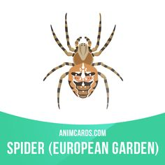 The European garden spider is an orb-weaver spider found in Europe and North America. It is a reclusive creature and only bites humans if cornered or otherwise provoked. The bite is not unlike a mild bee sting.  #english #englishlanguage #learnenglish #studyenglish #language #vocabulary #dictionary #englishlearning #vocab #animals #spider #spiders #europeangardenspider