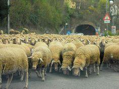 Shepherding to higher pasture, Germany.