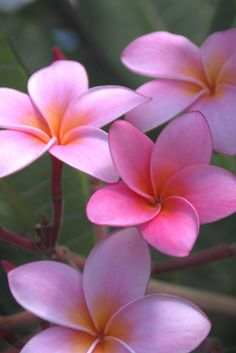 Pink Plumeria - Kauai, Hawaii