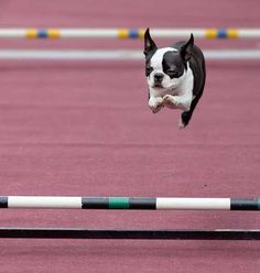 Sporty Boston Terrier