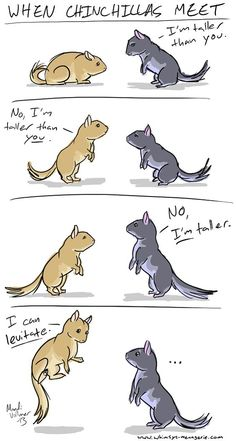 "When Chinchillas Meet Cartoon - The ""I'm taller"" standoff is so true."