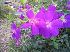 A gorgeous Tibouchina urvilleana in the Albin Polasek Gardens . . . . or, more simply, beautiful purple flower!  Winter Park, Florida