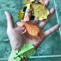 Video features leaf insects or walking leaves of the family Phylliidae. Leaf insects are camouflaged to look like leaves to fool their predators. Cute Little Animals, Cute Funny Animals, Beautiful Bugs, Amazing Nature, Nature Animals, Animals And Pets, Animals Planet, Wild Animals, Beautiful Creatures