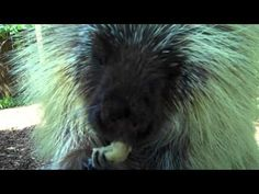 Teddy Bear, the talking porcupine, needed something to help him cool off in the summer heat -- so a frozen banana was just the treat! Listen...hahahaha ;) cute