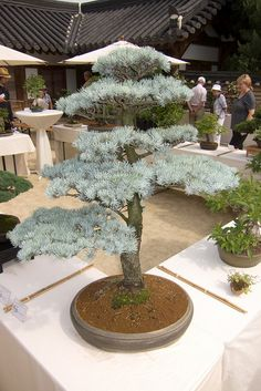 RK:Bonsai 1 | Flickr - Photo Sharing!