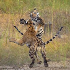 Bengal tiger fight at Bandhavgarh National Park in India by National Geographic contributing photographer Andrew Parkinson.