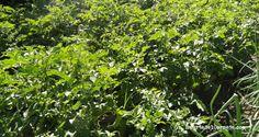 Las plantas de patata después de la floración