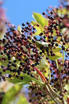 Not only do elderberry plants make a beautiful addition to the landscape, they also draw in wildlife. Flowers bring pollinators in the summer, and fall berries draw in birds and other animals. You could pick the berries yourself and make jam!