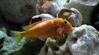 Tropheus Golden Firecracker at Aquarist Classifieds