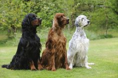 Irish Setter Sitting Between Gordon Setter ..