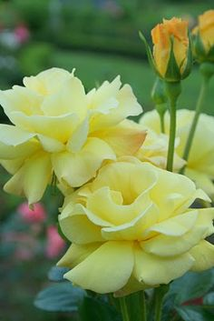 Yellow roses...  Along the top of the patio rock wall.  6-7 roses:  pale yellow, peach, creamy white, warm, pale pink, true yellow, true pink.