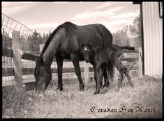Canadian Hay Ranch - Blain Revelstoke Elvis  - 2017 colt - sold Canadian Horse, Black Canadians, Horses For Sale, Ranch, Animals, Guest Ranch, Animales, Animaux, Animal