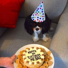 Mr. Brojangles ♥ Party Animals, Animal Party, King Charles Spaniel, Cavalier King Charles, Spaniels, I Party, Celebration Cakes, Pup, Ivory