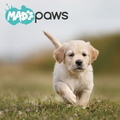 Golden retriever puppy running towards camera Pet Breeds, Large Dog Breeds, Puppy Breeds, Golden Retriever Breed, Retriever Puppy, Golden Retrievers, Pet Dogs, Dogs And Puppies, Puppy Day