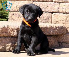 Comet | Labrador Retriever - Black Puppy For Sale | Keystone Puppies Black Puppy, Black Lab Puppies, Black Labrador Retriever, Puppies For Sale, Black Labrador Puppies