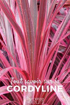La Cordyline, avec ses allures de palmier, donne un petit côté exotique et dépaysant au jardin ou à la terrasse. En pot, en massif ou en rocaille, voici tous nos conseils de culture, pour cet arbuste de climat doux. #jardin #jardinage #jardinexotique